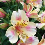Alstroemeria Little Miss 'Christina'