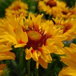 Gaillardia Sunset 'Sunrise'