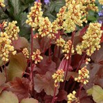 Heuchera 'Little Cuties Blondie'
