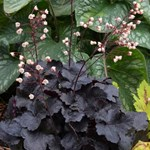 Heuchera 'Little Cuties Coco'