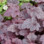 Heuchera 'Plum Pudding'